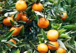 Edible Citrus Fruit Called Kumquat Golden Orange Growing On A Small Orange Fruit On Tree