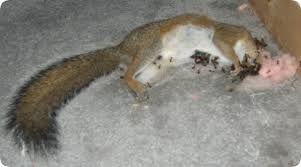 squirrel in ceiling. Modren Squirrel And Squirrel In Ceiling T