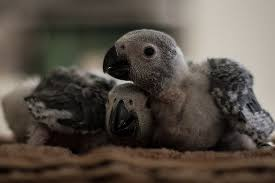 How To <b>Wean</b> Baby Parrots - Pet Central by Chewy