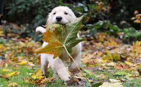 葉っぱとラブラドールレトリバーの壁紙