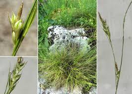 Carex distachya Desf. - Sistema informativo sulla flora vascolare dei ...