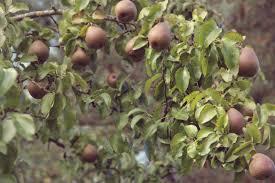 35 Best FRUIT STOCK Images On Pinterest  Fruit Trees Fruit And Full Size Fruit Trees For Sale