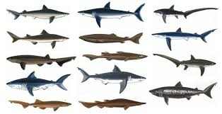Types Of Sharks Chart 14 Shark Species Found In The Coastal Waters Of British