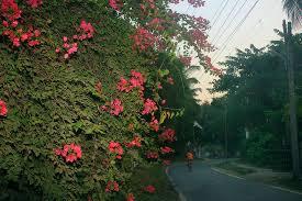 flowers a photo essay u a satish bougainvillea mumbai vasai flower outdoor travel uasatish