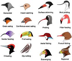 Bird Beak Chart Eco Evo Evo Eco The Adaptive Radiation Of Darwins Finches