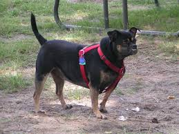 black and tan puggle. Brilliant And My Pug Beagle Is Black And Tan Her Name Puggles She 3 Intended Black And Tan Puggle E