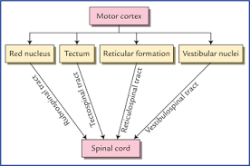 flowchart 17 2 indirect motor pathways through which the cerebral cortex influences the spinal cord these are generally described as extrapyramidal tracts