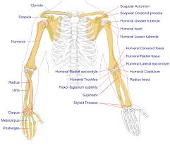 File Human Arm Bones Diagram Svg Wikipedia