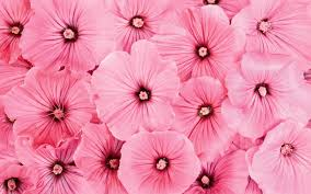 Wallpaper Bunga Pink Wallpaper Cantik 2 Free Hd Wallpapers