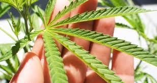 Everything You Need To Know About Cannabis Leaves Sensi