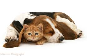 puppies and kittens sleeping. Unique Puppies British Shorthair Red Tabby Kitten With Sleeping Basset Hound Pup White  Background For Puppies And Kittens Sleeping B