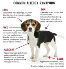 10 Home Remedies For Dog Allergies | kurs-cb.ru