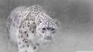 Snow Leopard Ultra HD Desktop ...