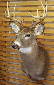 whitetail deer head mounts