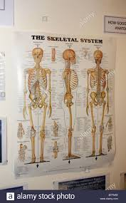 Human Skeleton Wall Chart A Wall Chart Showing The Skeletal System Of The Human Body