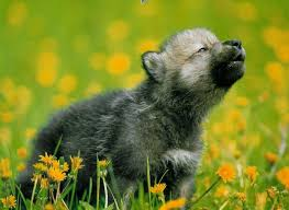 gray wolf pups howling.  Pups Adorable Gray Wolf Pup Howling By Wolfwithwingsgald6gyep0jpg For Gray Wolf Pups Howling