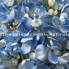 Select Hyd Blue Shydrangea Blue Select Flower Impression