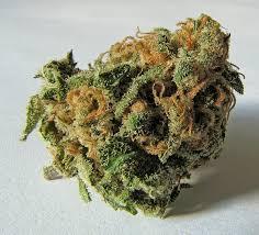 Descubren restos de marihuana fosilizada