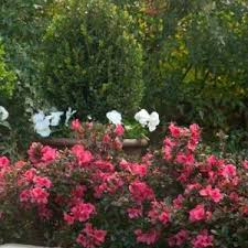 Azalea Size Chart Buy Azalea Shrubs For Sale Online Nature Hills Nursery