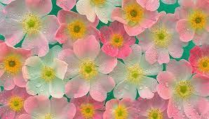 20 beautiful flower wallpapers free