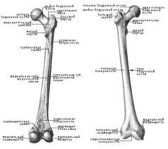 Реферат Шевченко Дарья Евгеньевна Система поддержки принятия  Рисунок 2 Анатомические структуры бедренной кости