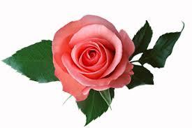 """Attēlu rezultāti vaicājumam """"roze"""""""