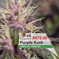 Purple Kush – 5 Seeds – South African Cannabis Family
