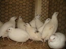 texas a m quail
