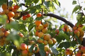 Plum Tree Flowers But No Fruit