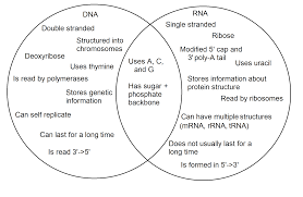 Venn Diagram Of Transcription And Translation Dna Vs Rna Expii