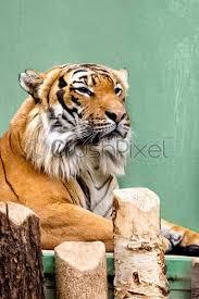 close up of siberian tiger face stock