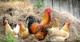 Know Why Your Poultry May Experience Unstable Egg Production