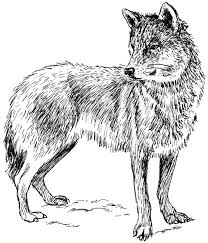 Realistic Wolf Coloring Pages To Print Coloringstar