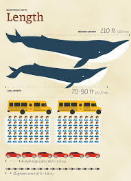 Whale Size Chart Blue Whale Size Comparison How Big Are They Compared To Humans