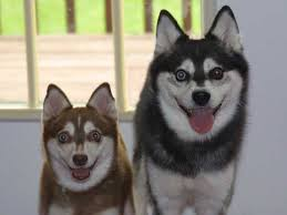 alaskan klee kai size alaskan klee kai dogs breeds pets