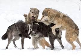 gray wolf pack playing. Wonderful Playing U201cI  Throughout Gray Wolf Pack Playing L