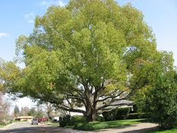 Best Trees For Backyard  Large And Beautiful Photos Photo To Good Trees For Backyard