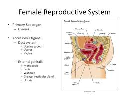 What Are The Accessory Organs Of The Female Reproductive System