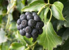 Ivy Berry Plant Information - Generally speaking, you can find about 12  different types of Ivy plants in var… | Healthy fruits and vegetables,  Berries, Berry plants