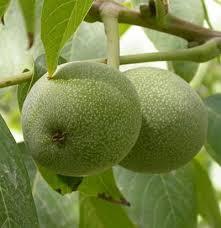 Lemon Lime Orange Tangerine Grapefruit  Fruit CropsIranian Fruit Trees