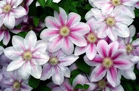 garden flowers. Garden Flowers Of Clematis On The Dacha