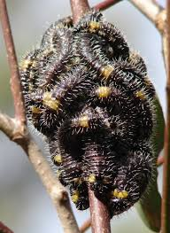 Australian Caterpillar Identification Chart Caterpillars And Grubs Also Pupa Sportsmans Creek