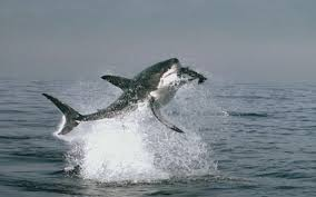 great white shark jumping out of water planet earth. Great White Shark Jumping Out Of Water Planet Earth Intended