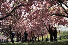 people walk under cherry blossom trees at the brooklyn botanical garden on may 5 2016