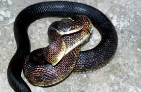 Snake With Diamond Pattern