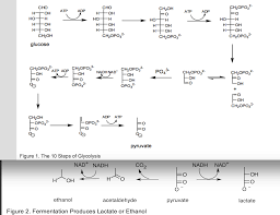 Solved 3 See The 10 Steps Of Glycolysis In Figure 1 In Th