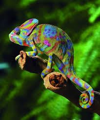 Best 25 Chameleon Ideas On Pinterest Chameleons Chameleon Pet