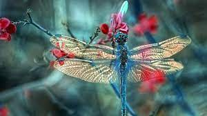Dragonfly Wallpapers on WallpaperDog