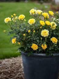 roses garden care