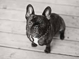 french bulldog puppies for french bulldog breeders
